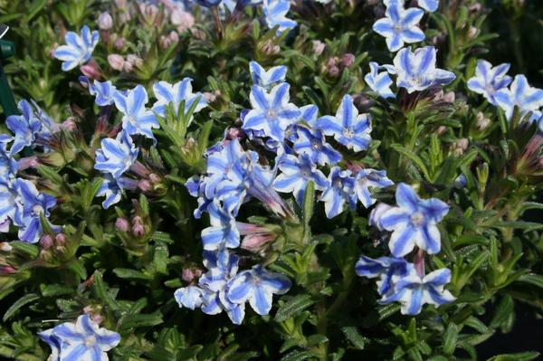 Star Lithodora