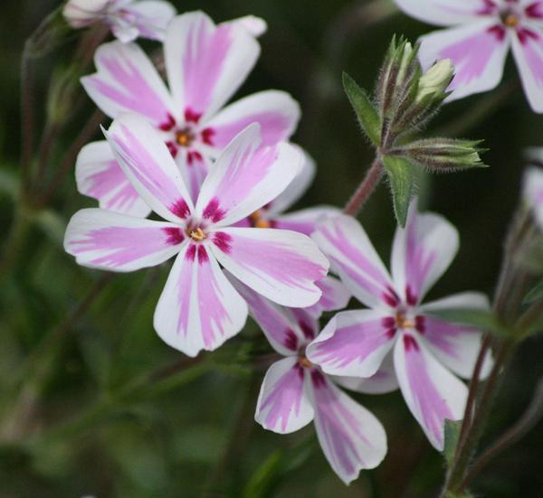 Phlox subulata - Candy Stripe